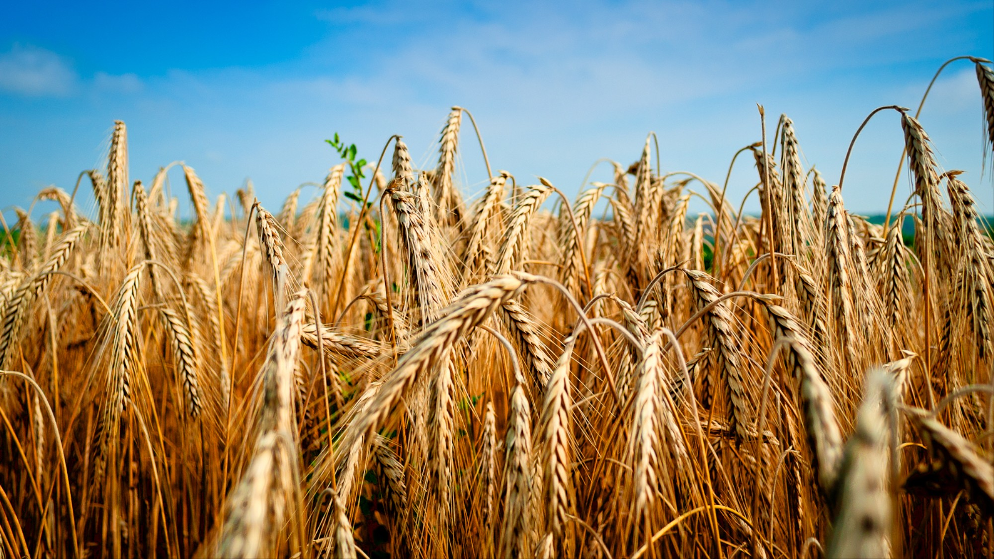 Nobody Knows Where This Field of Genetically Modified Wheat
