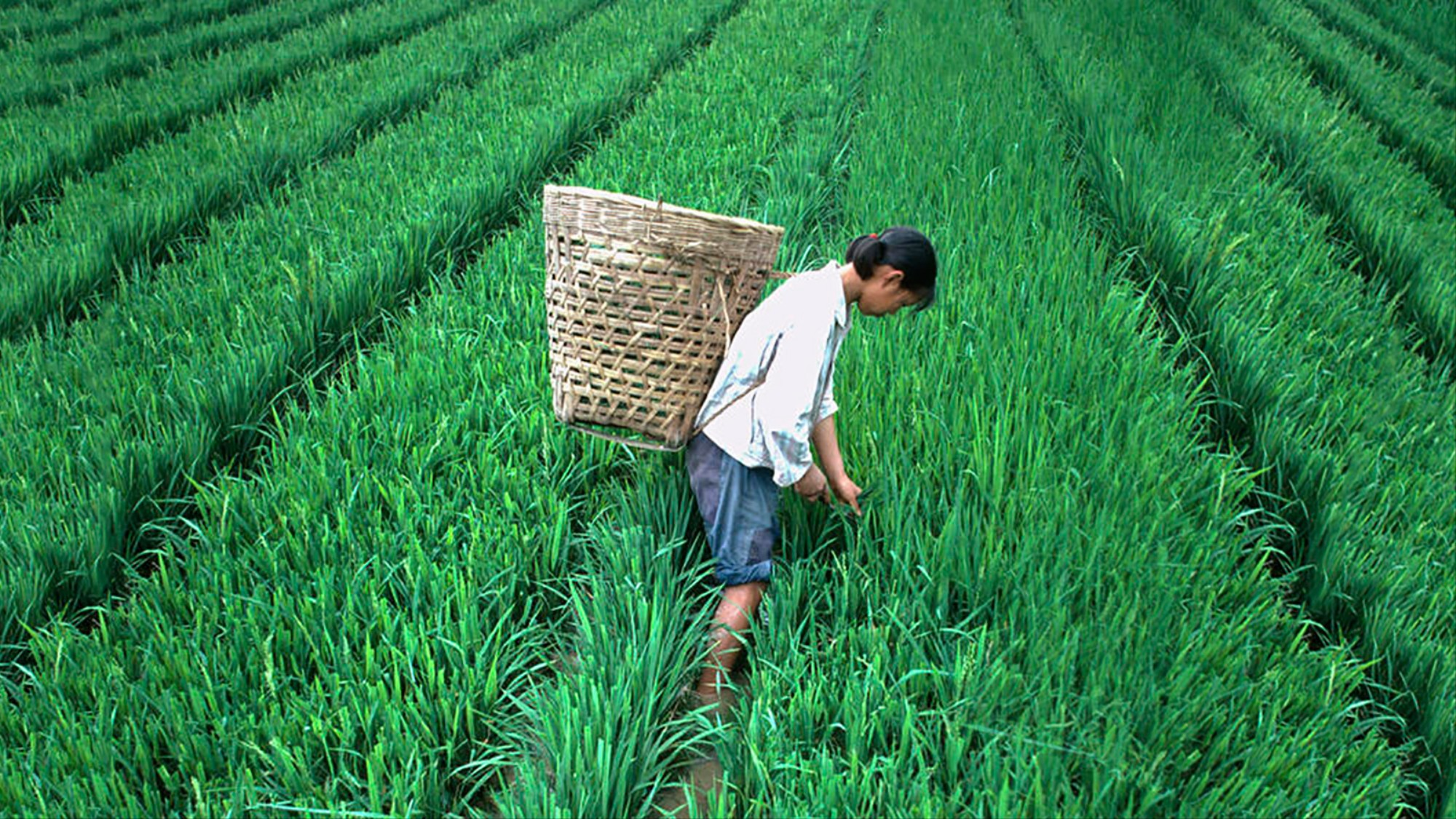 Why China's Rice Farmers Are Less Confrontational Than Wheat