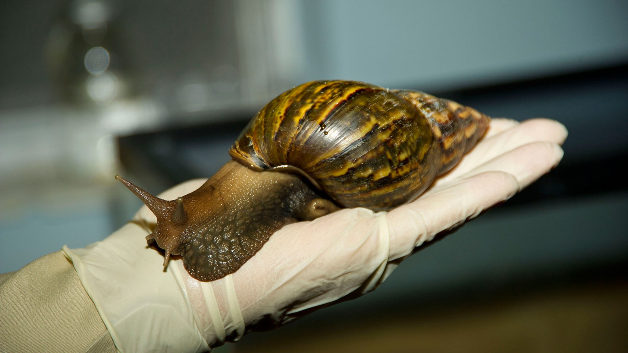 Eat Giant African Snails Before They Eat Your House - VICE