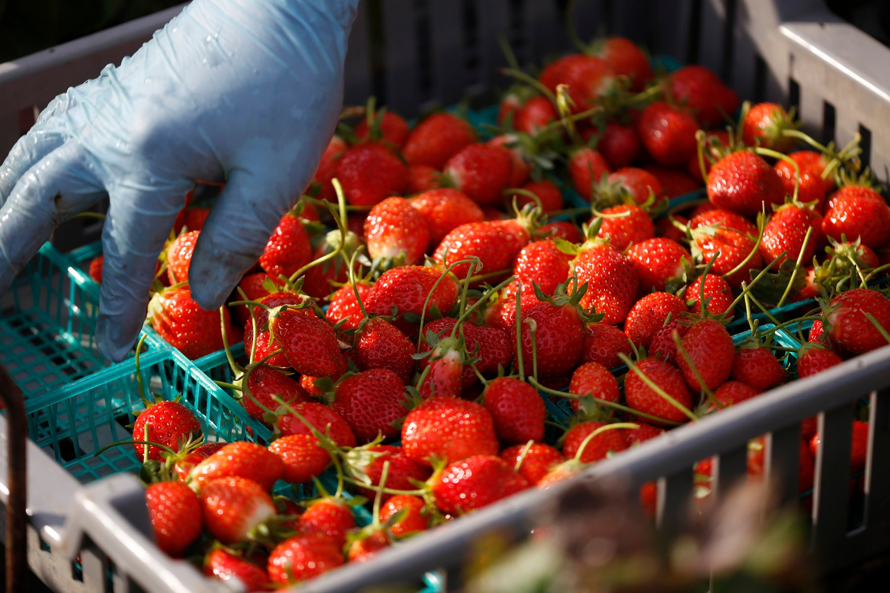 San Diego California, USA, December 13th 2016: | Chino Farms located in Rancho Santa. The farm is recognize and publicize for the high quality produce. A worker packing strawberries (Mara des Bois). | (Alejandro Tamayo)