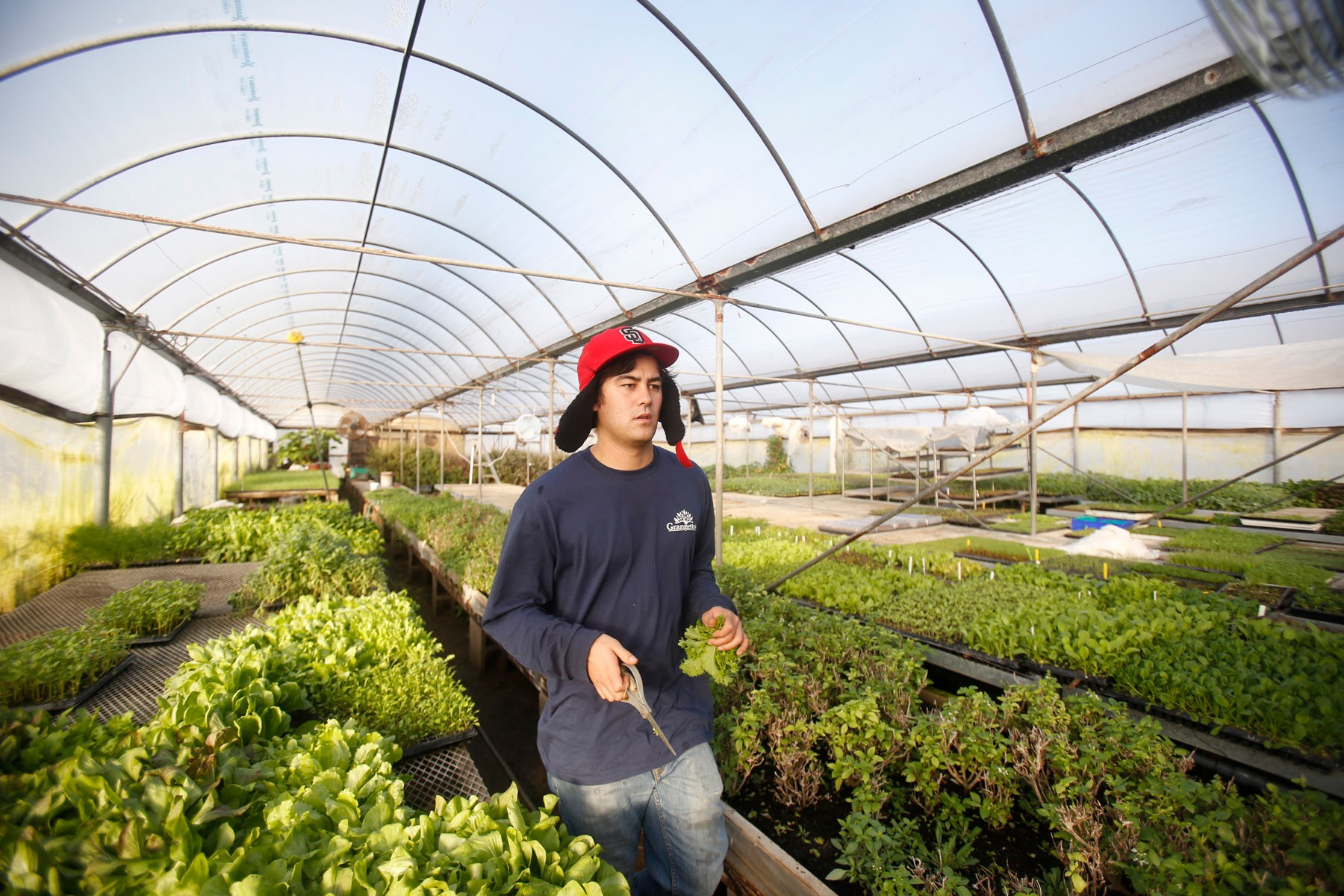 San Diego California, USA, December 13th 2016: | Chino Farms located in Rancho Santa. The farm is recognize and publicize for the high quality produce. Tom's son Makoto Chino picking plants from the green house. | (Alejandro Tamayo)
