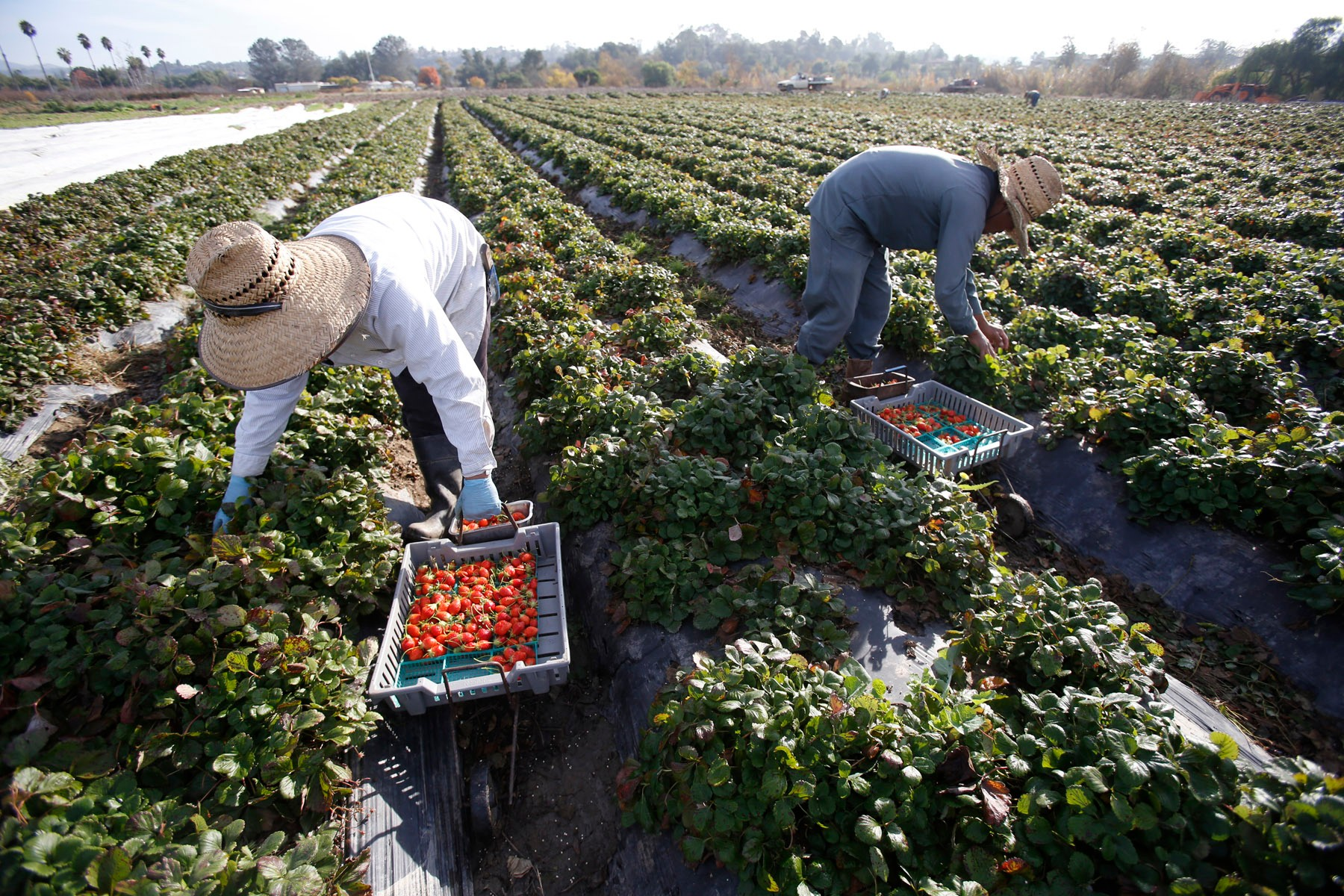 San Diego California, USA, December 13th 2016: | Chino Farms located in Rancho Santa. The farm is recognize and publicize for the high quality produce. Workers picking strawberries (Mara des Bois). | (Alejandro Tamayo)