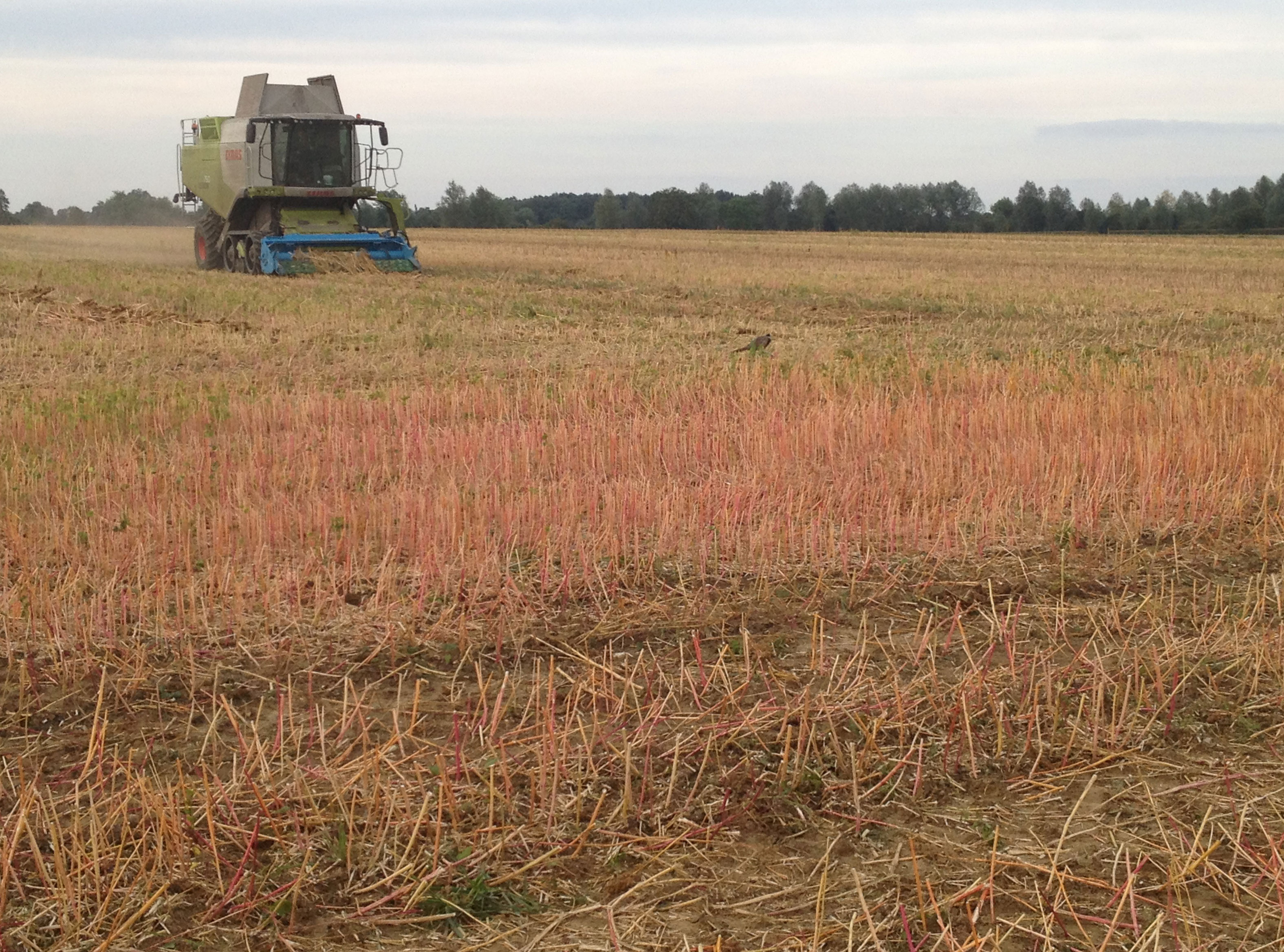 farming-quinoa-harvest