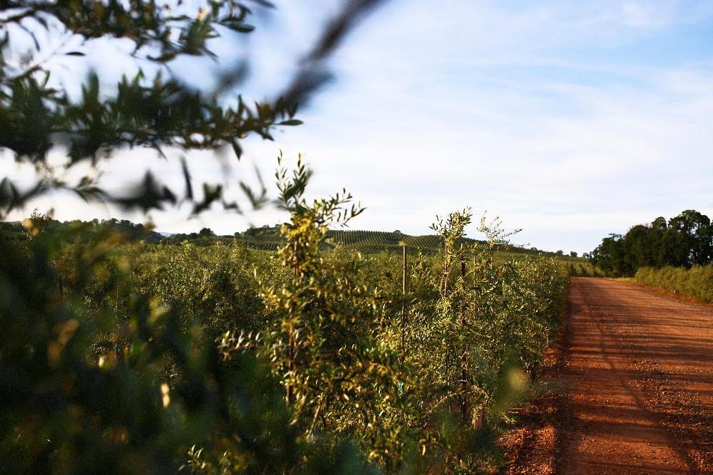 Groves-olive-oil