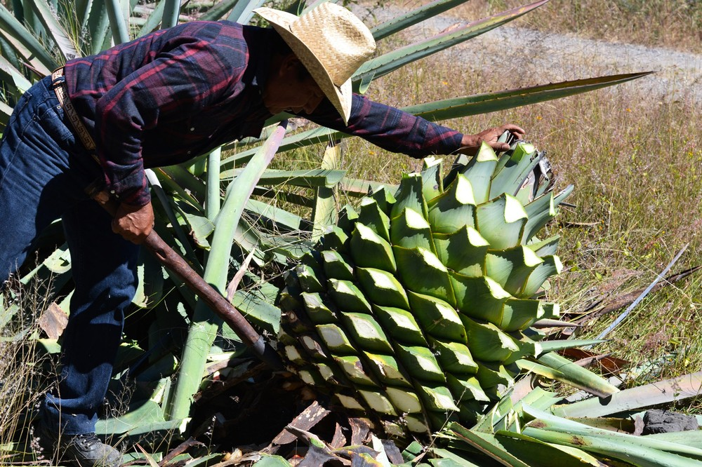 ignacio-heaves-up-the-agave-cerbeza-from-its-roots-using-a-coa-de-jima