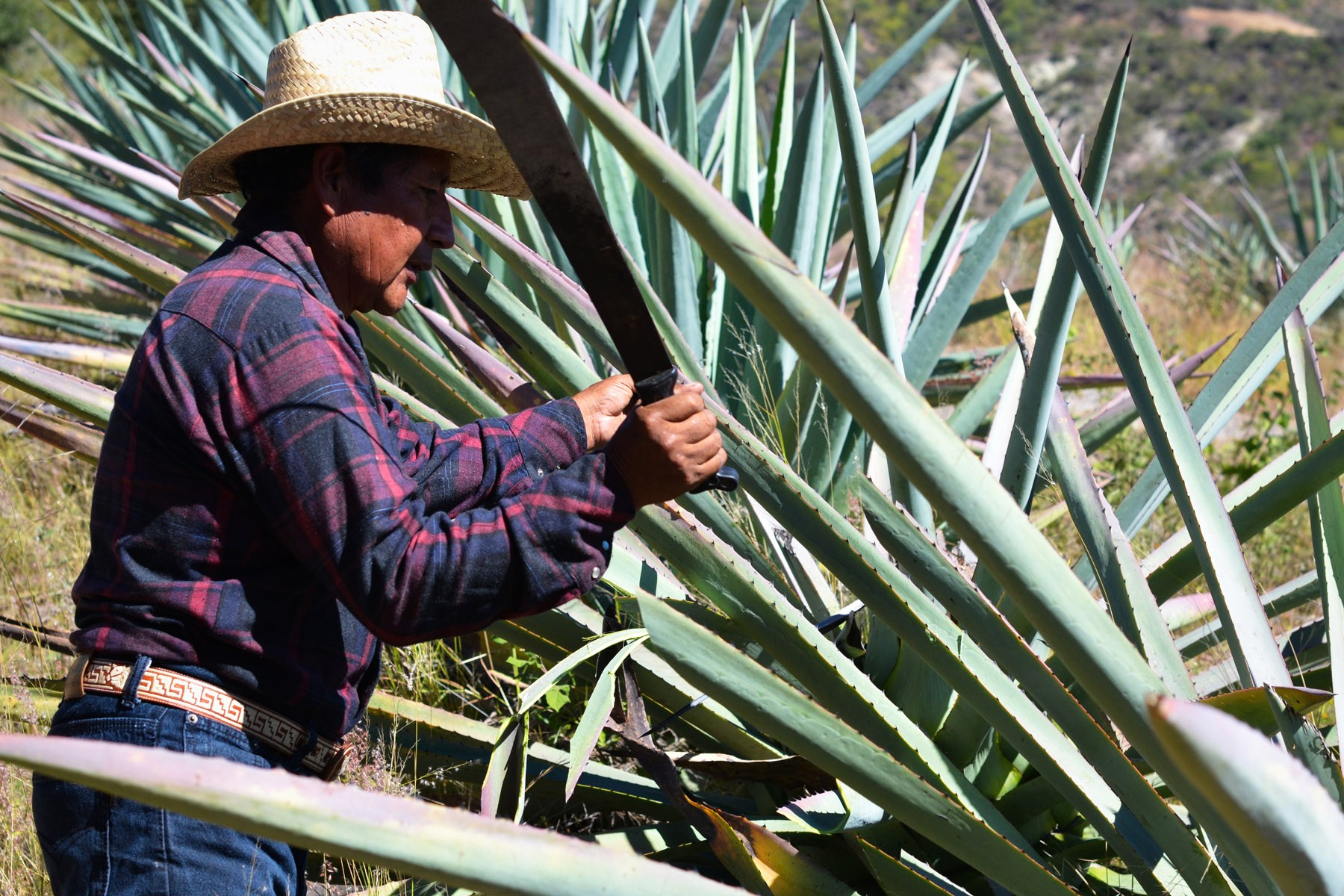 ignacio-uses-his-machete-to-cut-off-the-agave-pencas-or-leaves