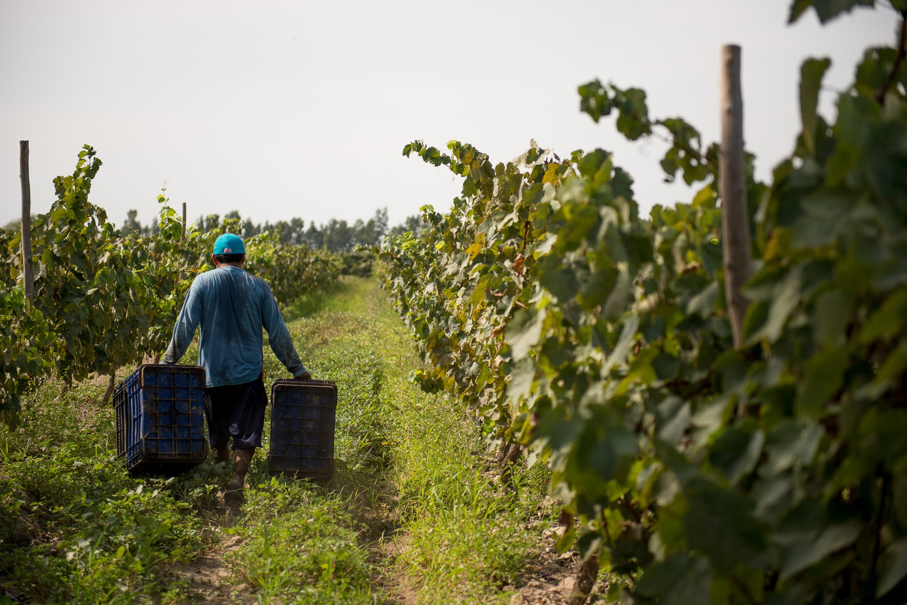 piscopunchstill_grape-harvest-man-with-basket