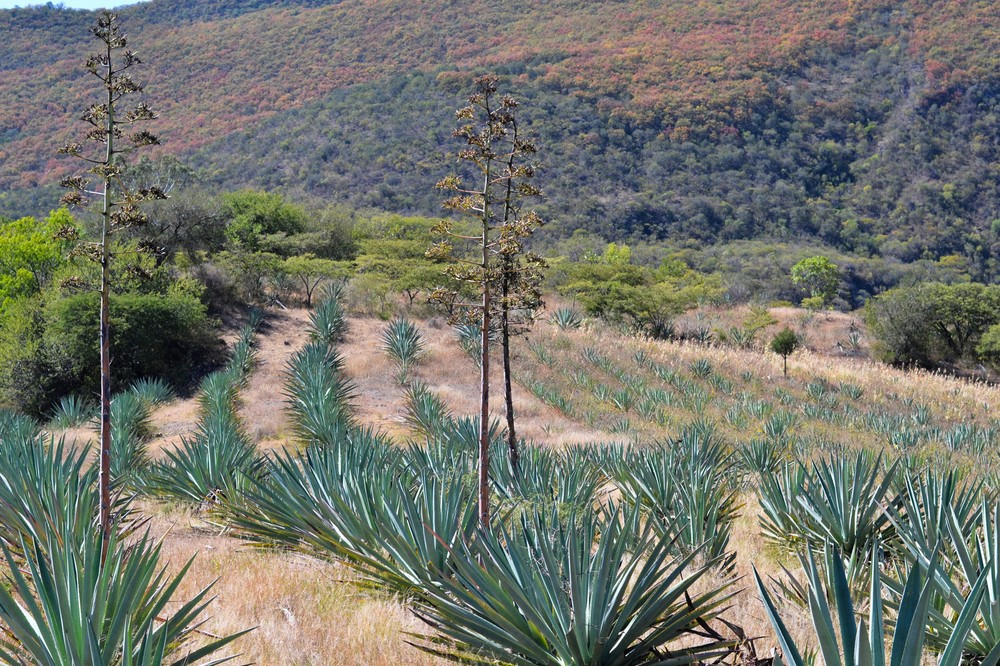 rows-and-rows-of-growing-agave