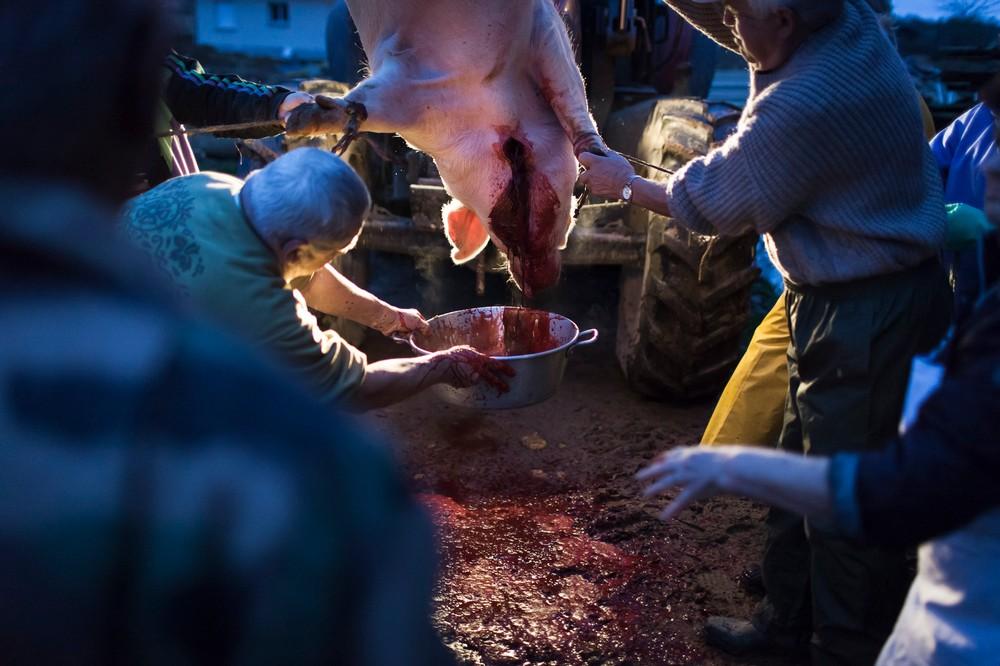 14/01/2014 - France / Aquitaine - Afin de cuisiner le boudin, il faut recuperer le sang du cochon. Le boucher se charge de tenir la bassine pendant que les autres personnes maintiennent le cochon afin deviter les mouvements trop brusques. Le tue-cochon, ou fete du cochon, est une tradition des campagnes francaises, qui correspond a l'abattage, la decoupe et la cuisine de la viande de porc. Autrefois moment important de la vie rural, cette tradition se perd aujourd'hui. Simon Lambert / Haytham Pictures 14/01/2014 - France / Aquitaine - Kill the pig - In order to cook the bood sausage, the pig's blood is collected by the butcher who holds a basin while other people hold the pig to avoid abrupt movement that may cause loss of blood into the basin. Simon Lambert / Haytham Pictures