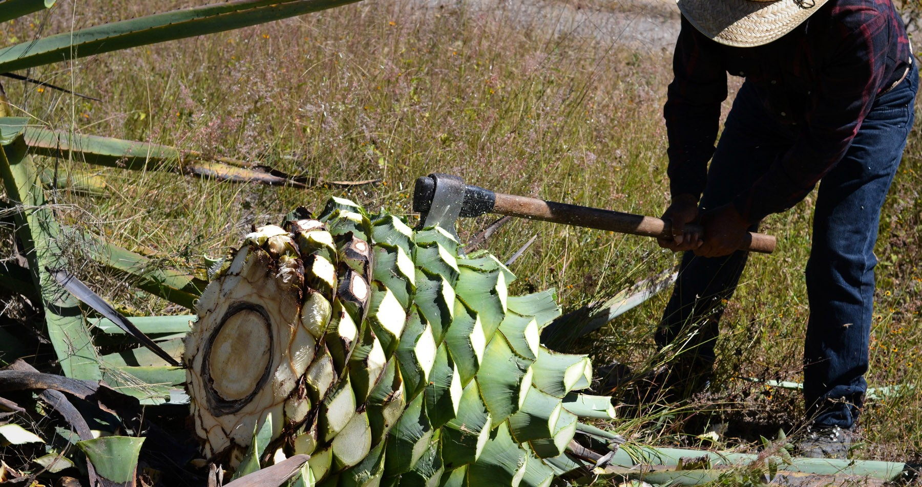 the-agave-juices-rupture-from-the-agaves-cabeza