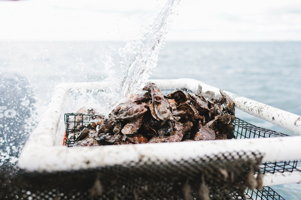 Thimble Island, Oysters, Bren Smith