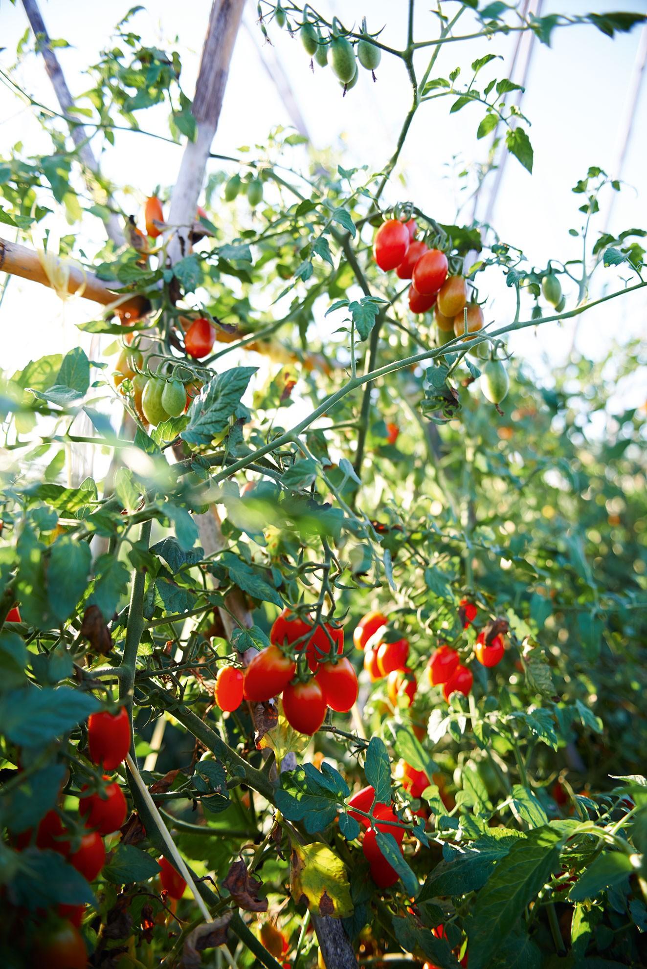 tomatoes_on_vine