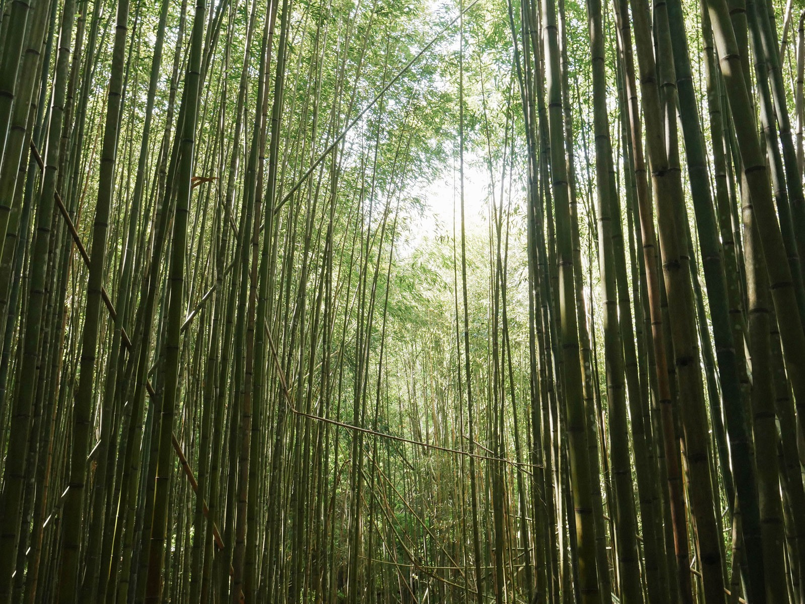 bamboo-forest_26899466786_o