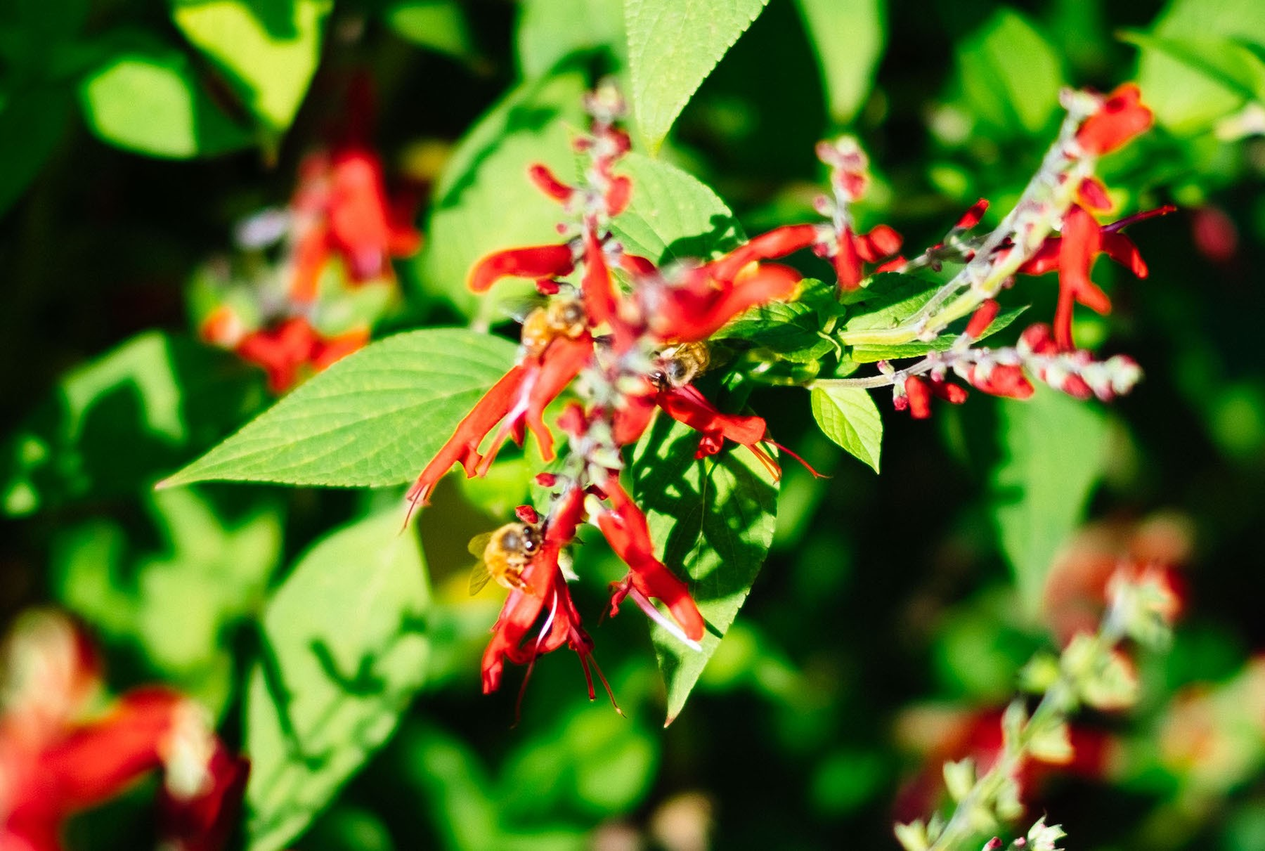 bees-on-pineapple-sage-attica