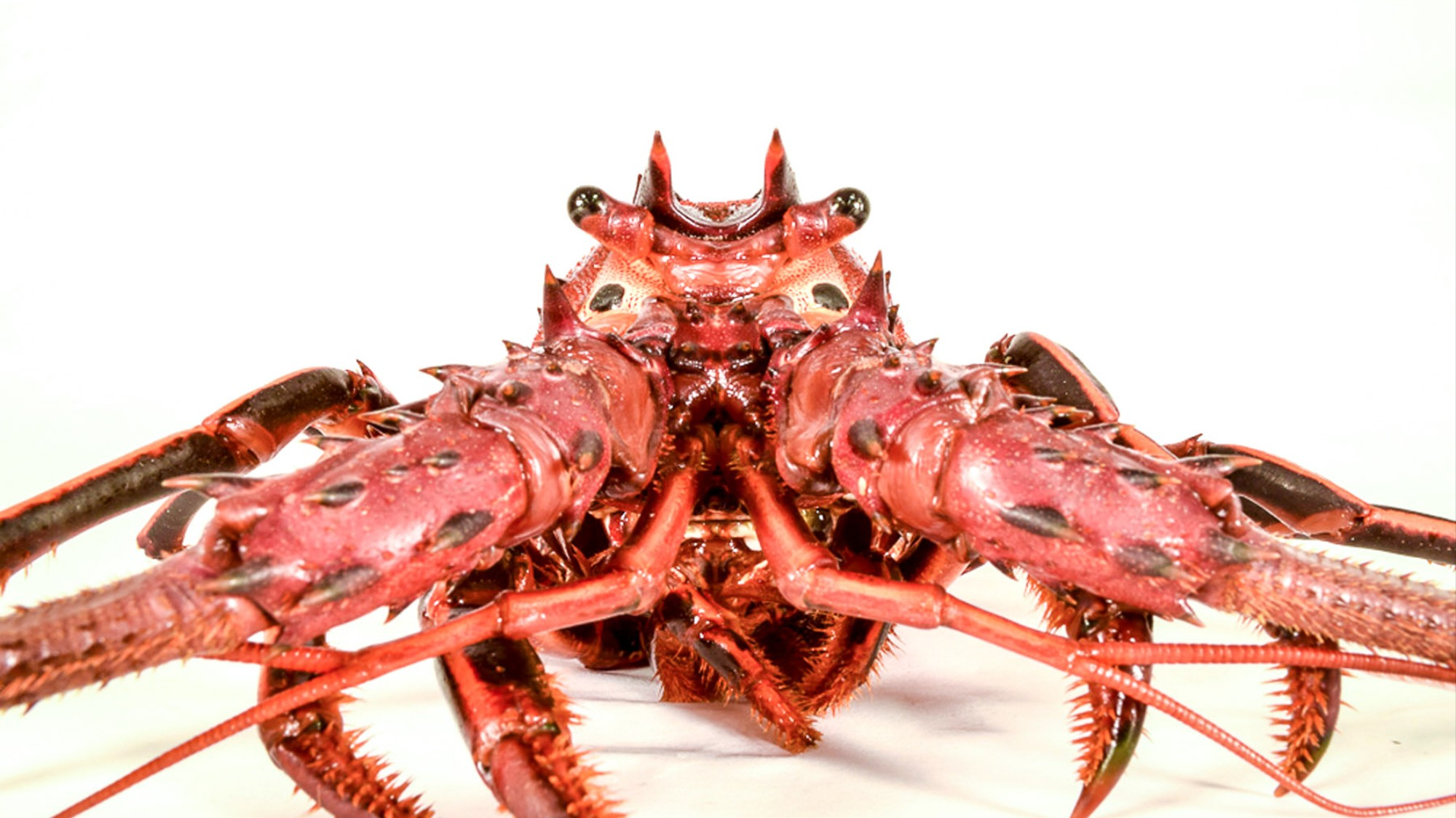 Why We Don't Eat California Spiny Lobsters (Even Though They