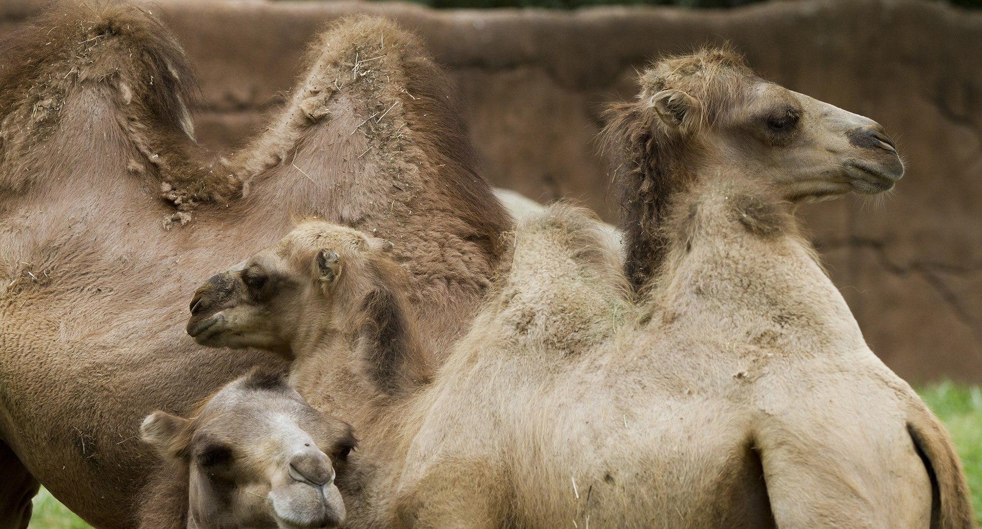 FDA Warns LA Wellness Hipsters that Camel Milk Is Not a Miracle Cure - MUNCHIES