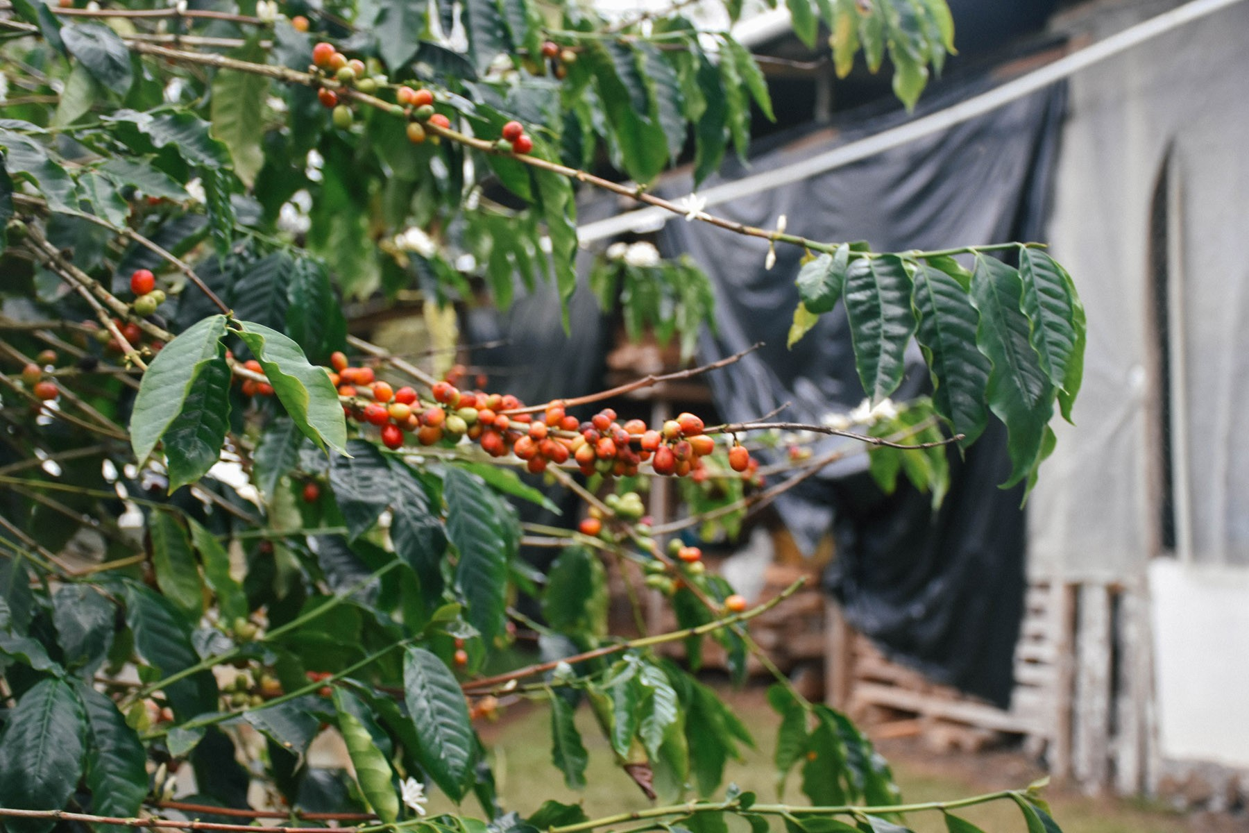coffee-farm_31833906415_o