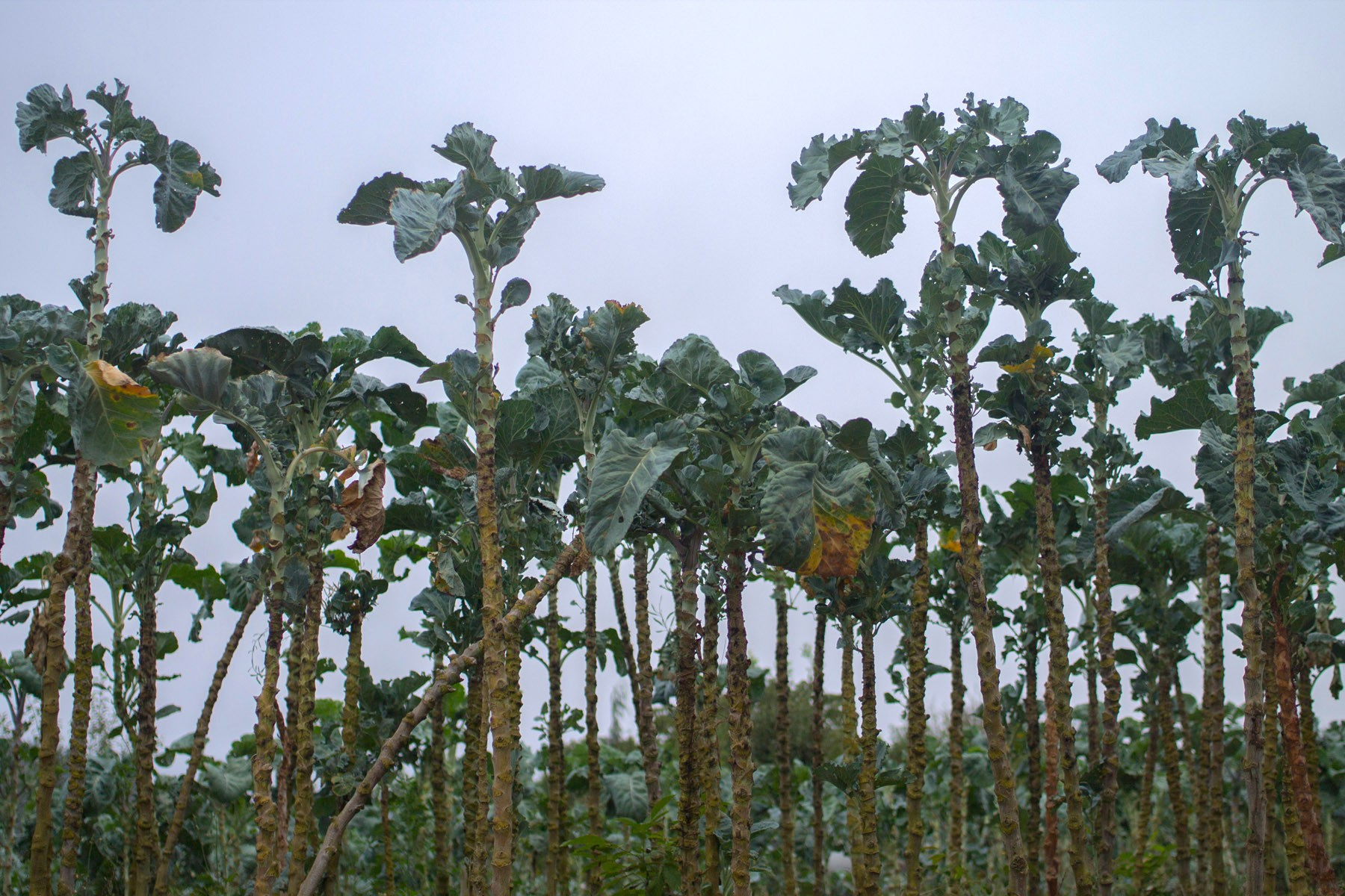 elcamino_overgrown brussels sprouts