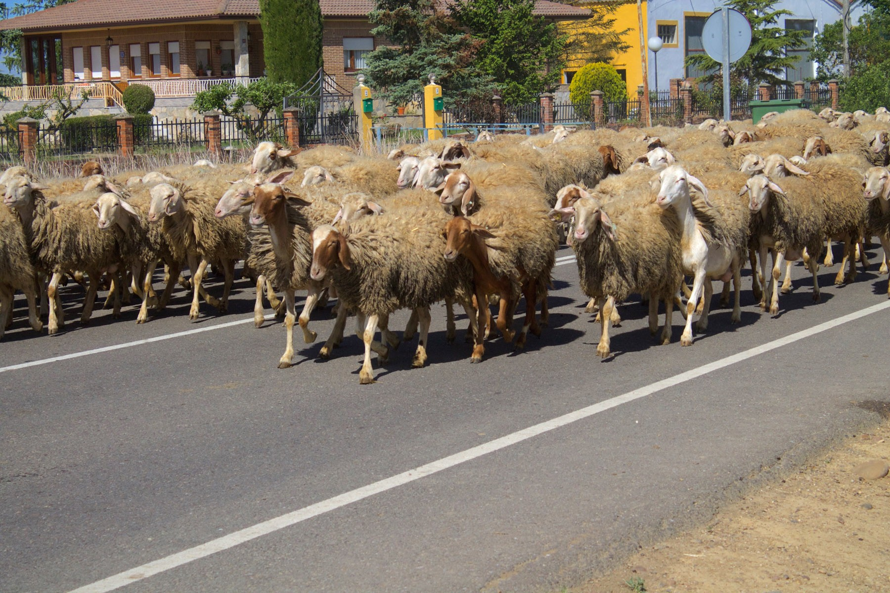 elcamino_sheep taking over the road