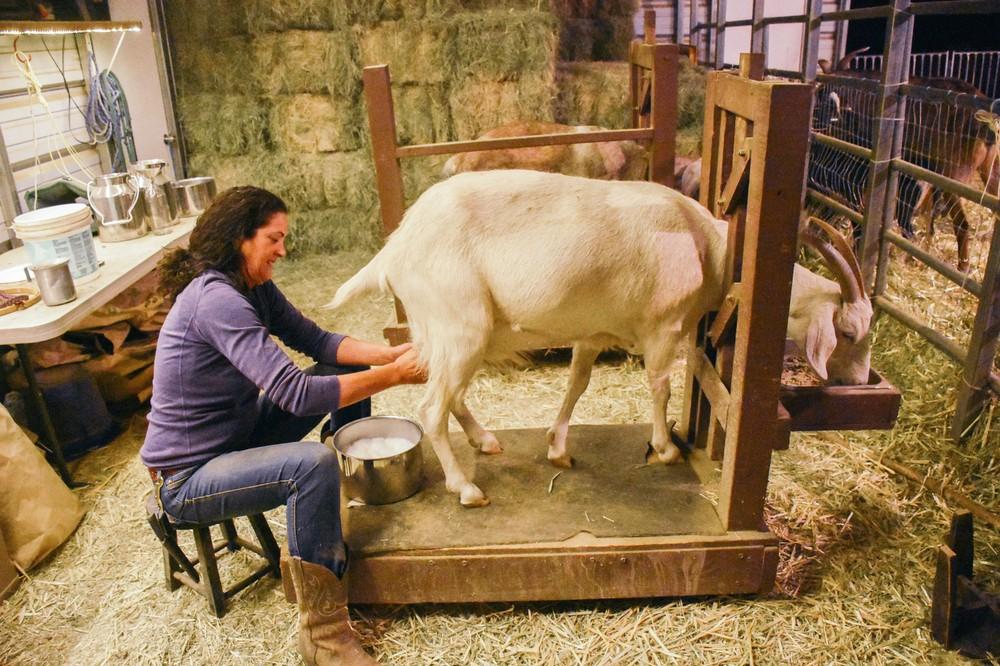 gloria-milking_30183259061_o