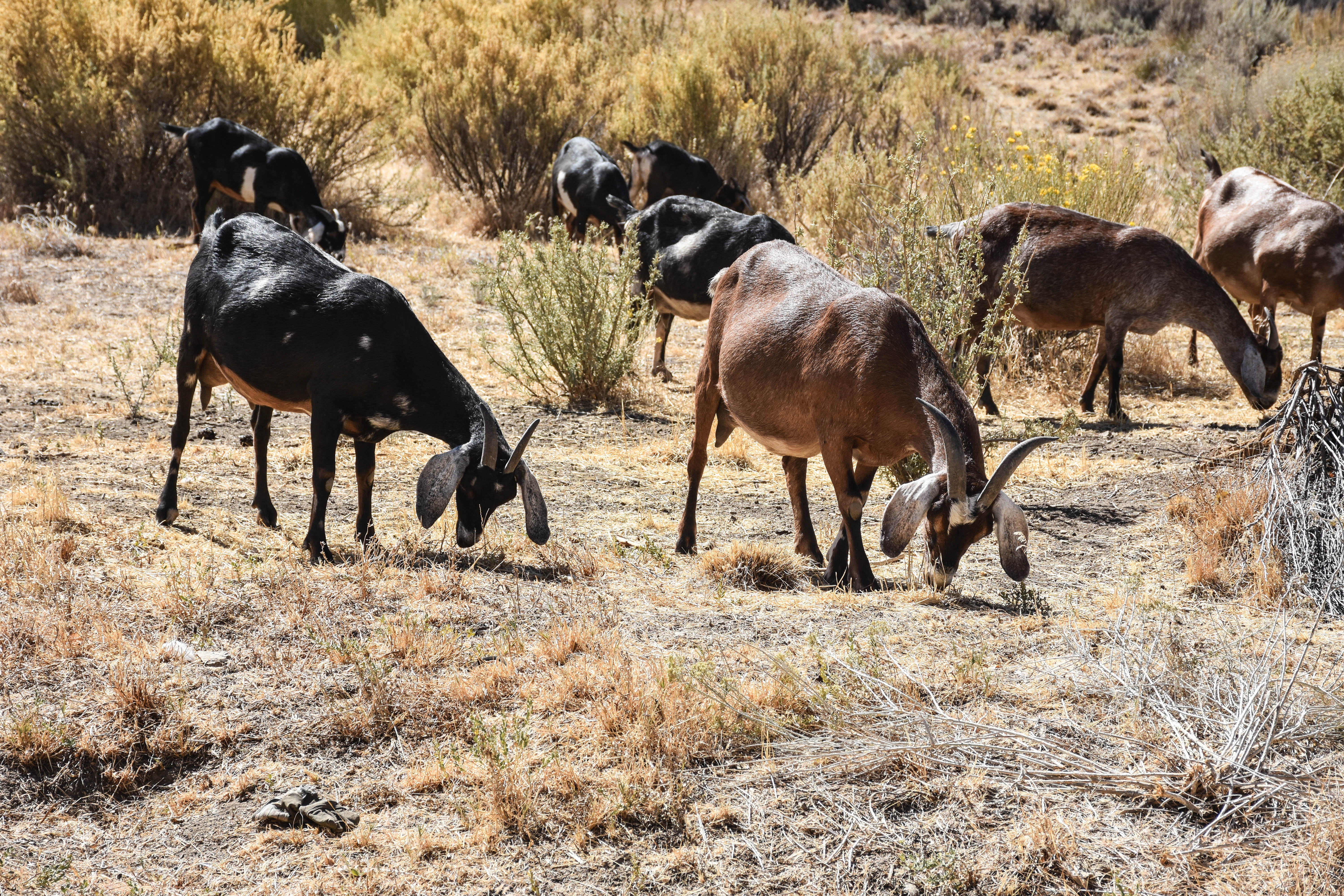 goats-foraging_30153219542_o