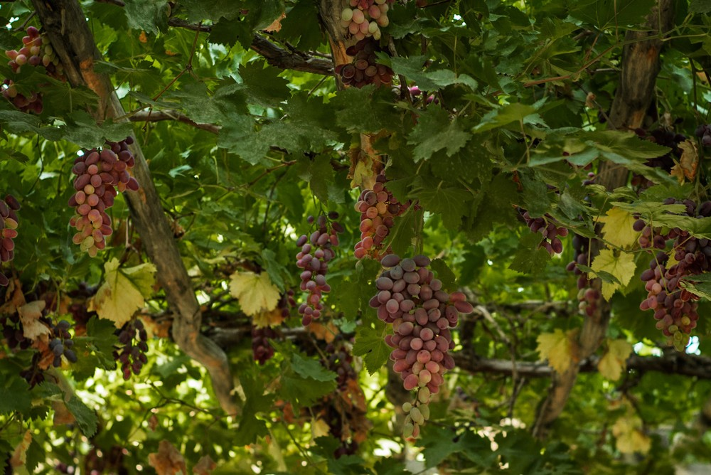 grapes-in-turpan_28638724891_o