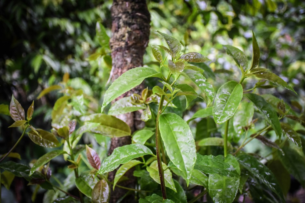 guayusa-plant_32407153135_o