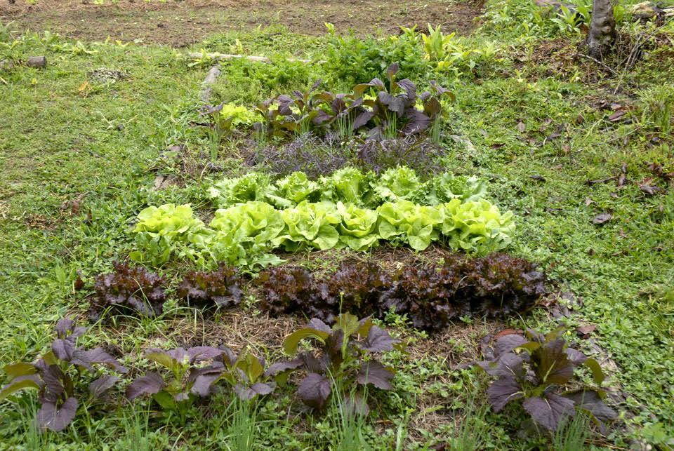 land - lettuce head, arugula, cibolette