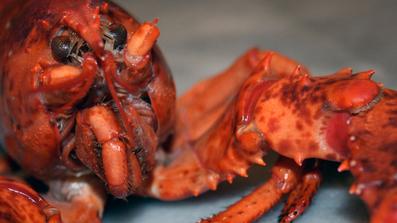 the 110 year old lobster rescued from a restaurant by animal