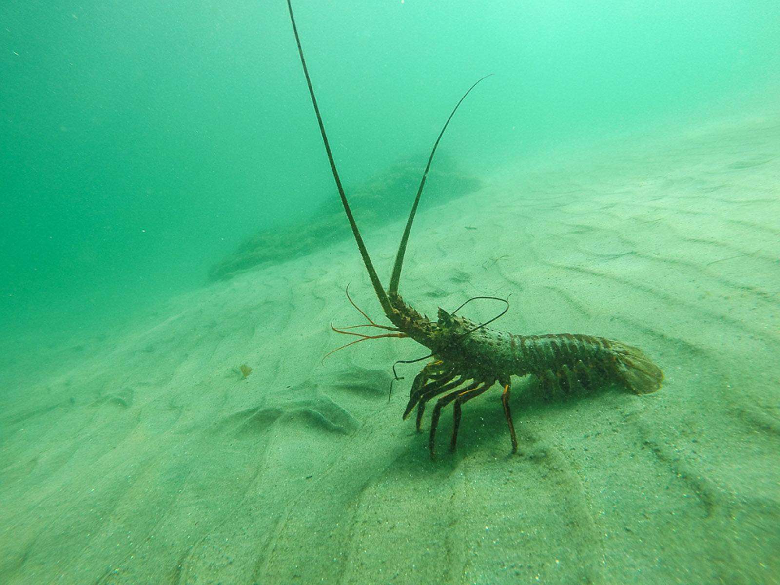 lobster-underwater-photo-by-kate-mansury_29985017702_o