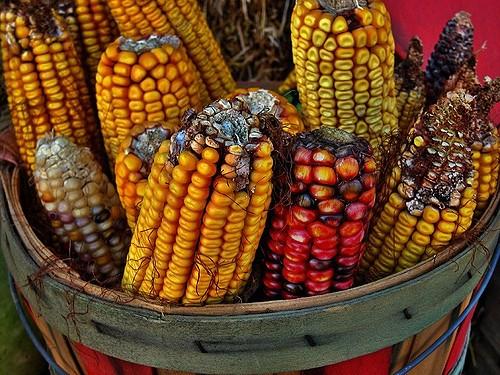 maíz-1