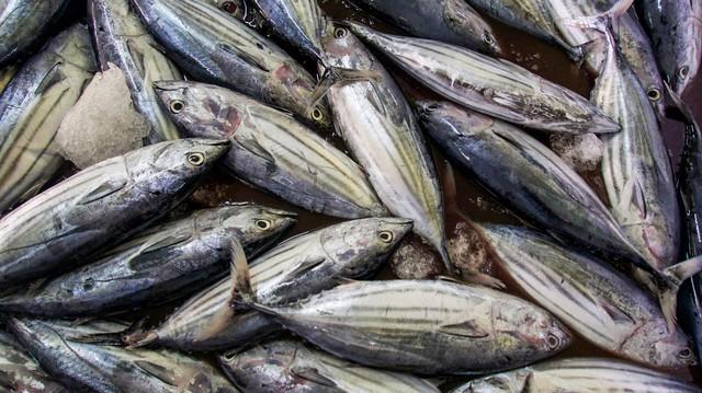 """Résultat de recherche d'images pour """"tuna fishing maldives"""""""