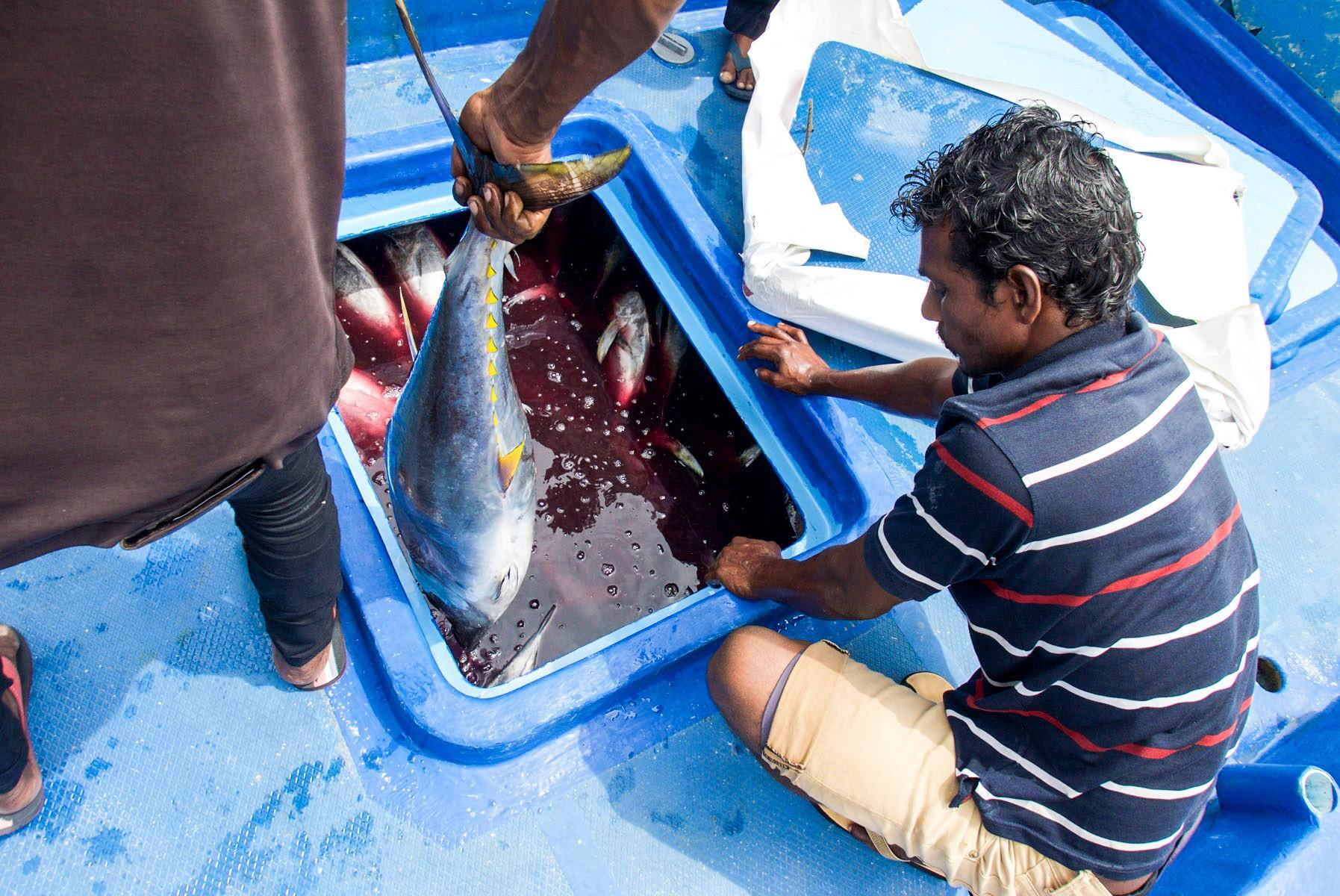 maldivestuna_P1060945