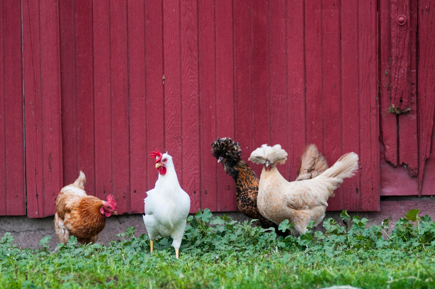 organiclabeling_chickens