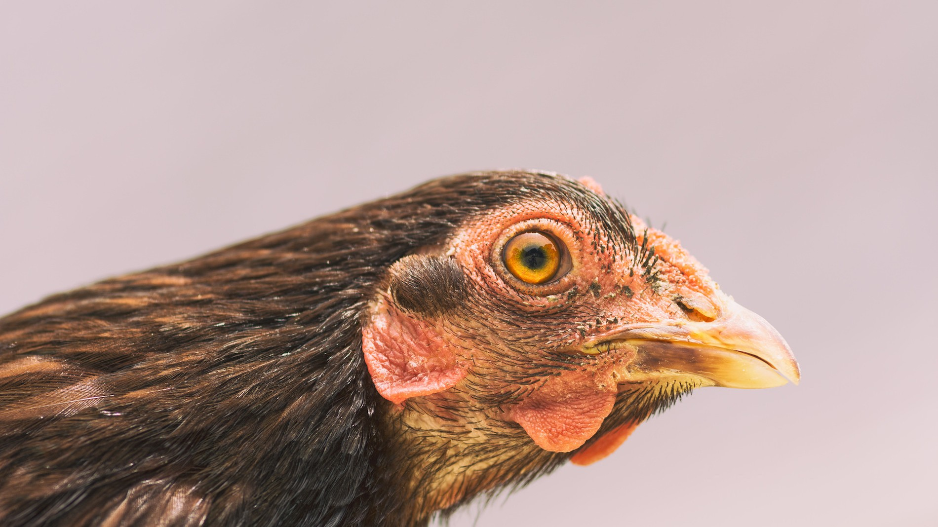 chickens are way smarter than we give them credit for munchies