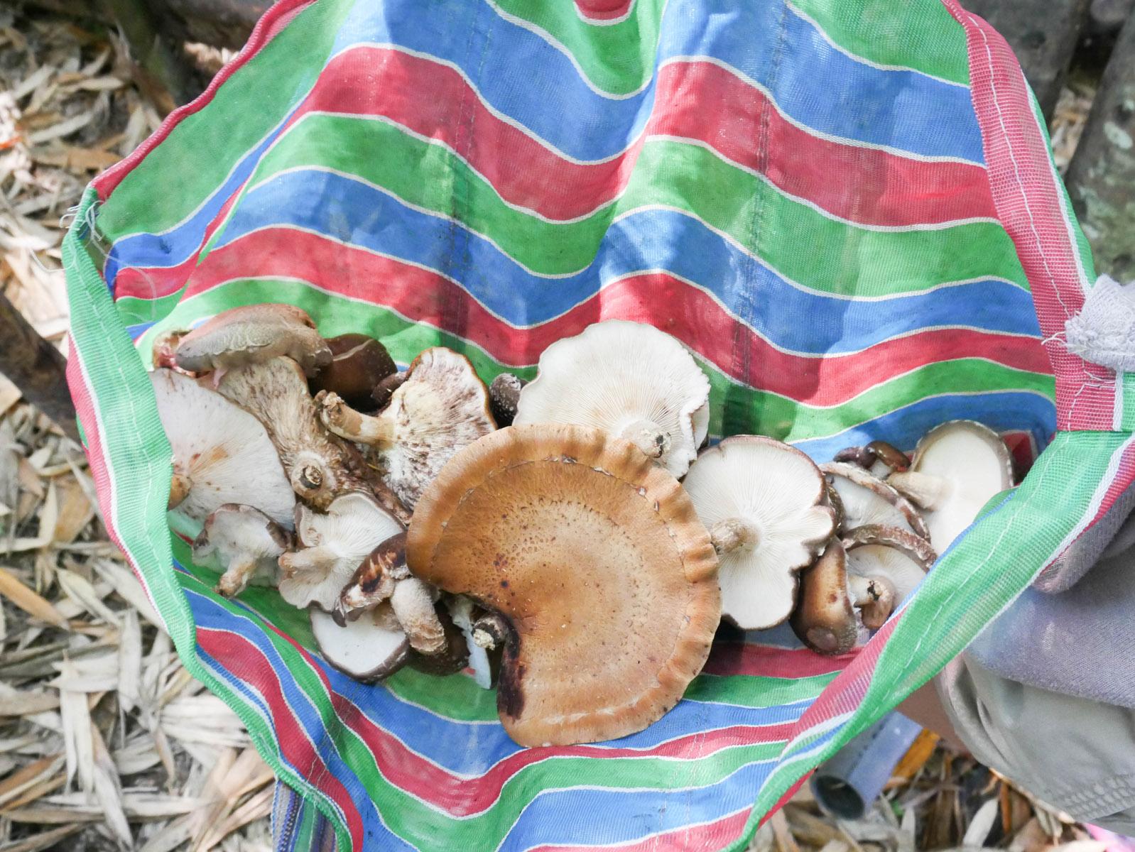 shiitake-mushroom_26328866953_o