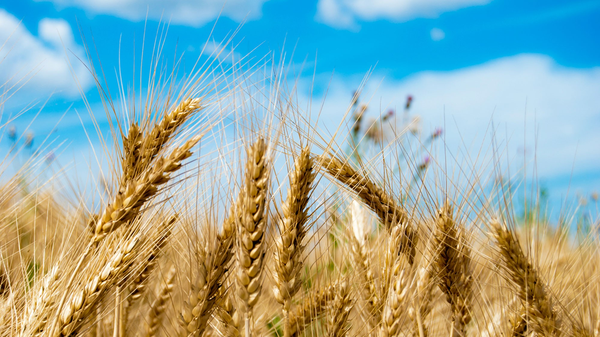 wheat-crop-brexit-trump