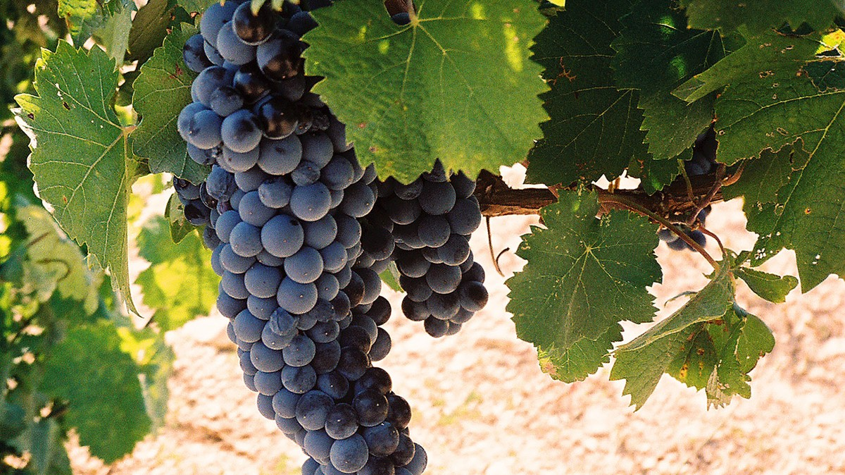 californian wine clusters essay